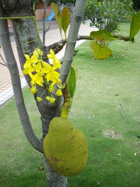 一支花 插在菠蘿蜜上