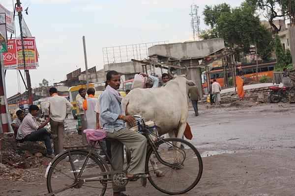 038 印度街上真的有牛。.JPG