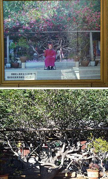 2.尋找段皇爺的旅程──昆大麗(下)_可惜沒遇上開花時,上萬朵的茶花應該很美吧!好難想像這麼多朵茶花開在同一棵樹上.......jpg