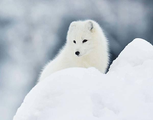 Arctic_Fox_1.jpg