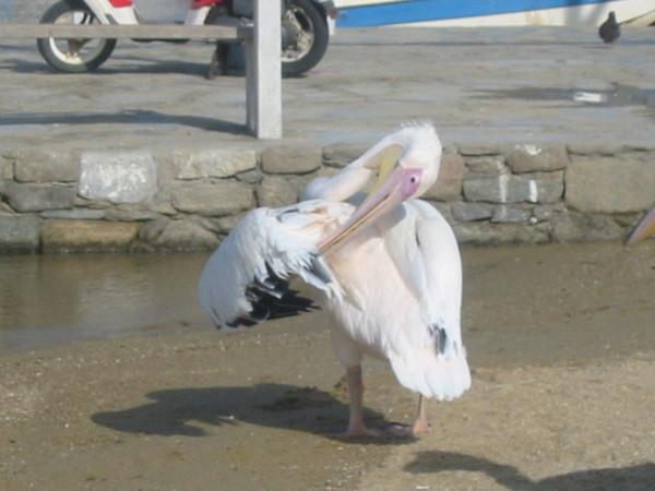 米克諾斯著名的塘鵝