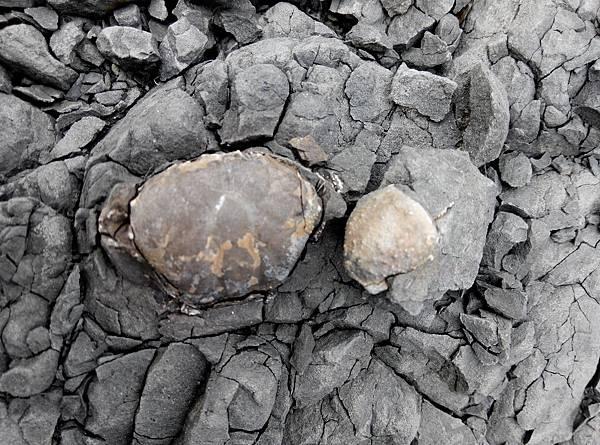 太平蟹化石
