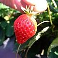 名品草莓園 (3).JPG