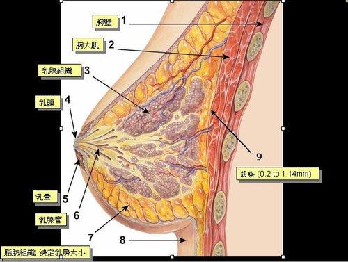 breast anatomy.jpg