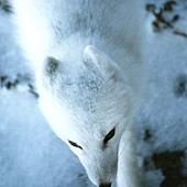 狐狸眼.jpg