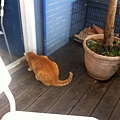 老闆在外面放了貓飼料,許多街貓會上來吃午餐