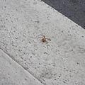 紅色小蜘蛛