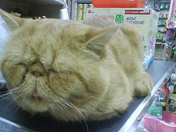 公司附近的寵物店的貓