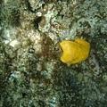 黃色的珊瑚?