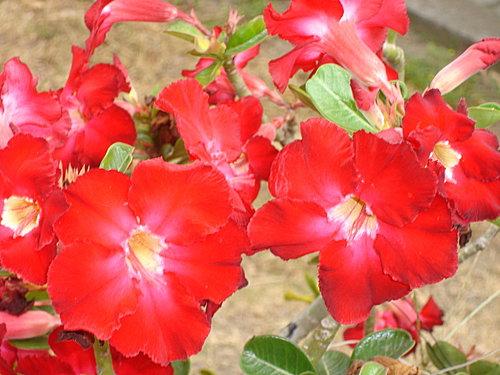 沙漠玫瑰 3