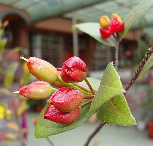 桂葉黃梅2