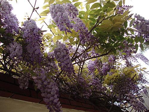紫藤 1.jpg