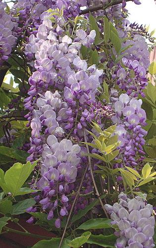 紫藤3.jpg