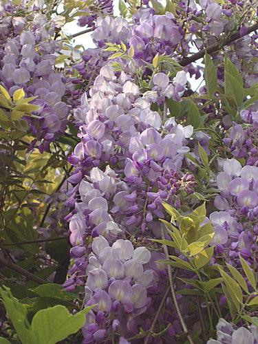 紫藤 2.jpg