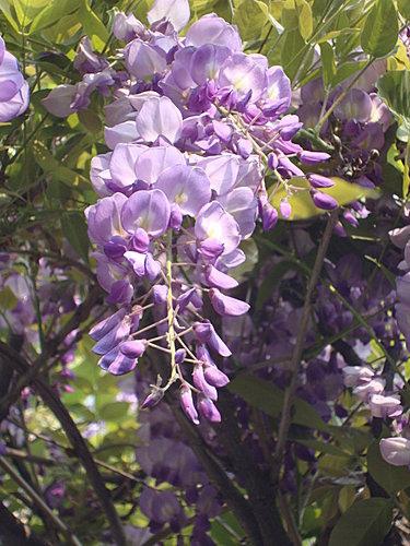 紫藤 4.jpg