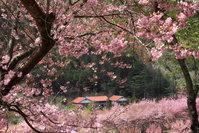 春櫻 (攝影:蓮華).jpg