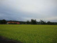 油菜花田5