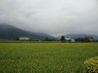 油菜花田10