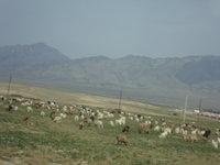 北疆羊群.jpg