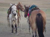 北疆馬匹.jpg