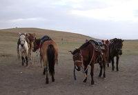 北疆馬匹群.jpg
