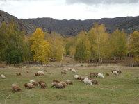 北疆禾木村羊群.jpg