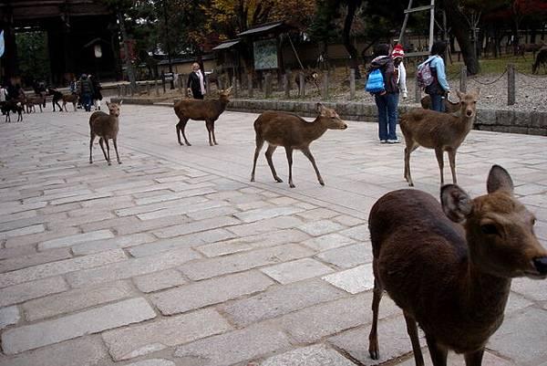 賞楓---奈良的鹿.jpg