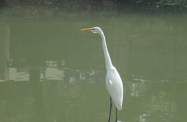 大白鷺(攝影 詩韻)