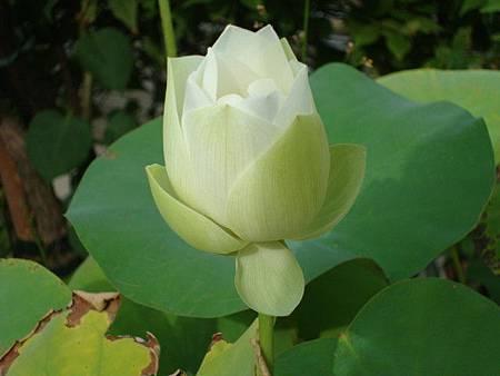 white lotus1.jpg