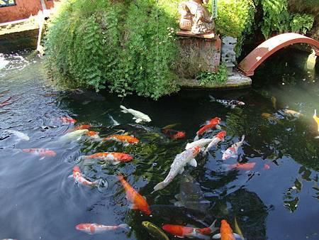 美濃錦鯉魚.jpg
