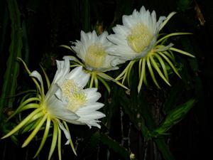火龍果的花(攝影:雅淇)