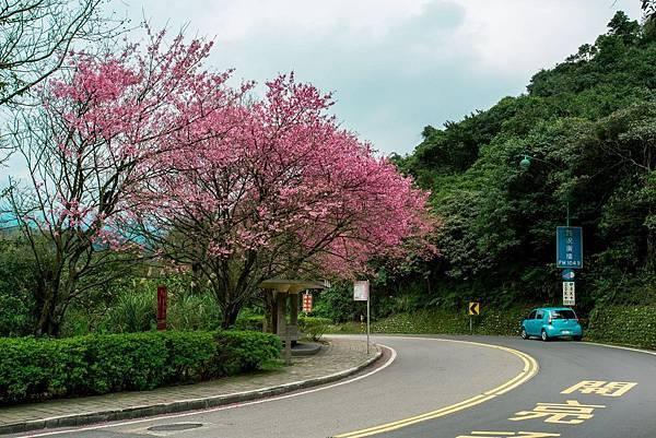陽明山櫻花1.jpg