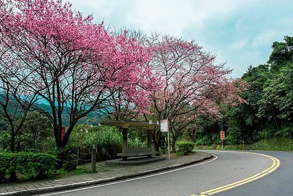陽明山櫻花2.jpg