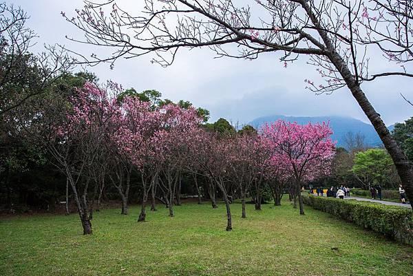 陽明山櫻花5.jpg