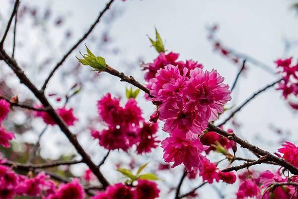 陽明山櫻花7.jpg