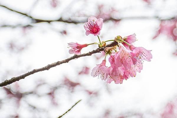 陽明山櫻花6.jpg