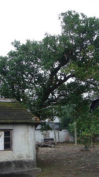 百年老蓮霧樹(攝影 詩韻)