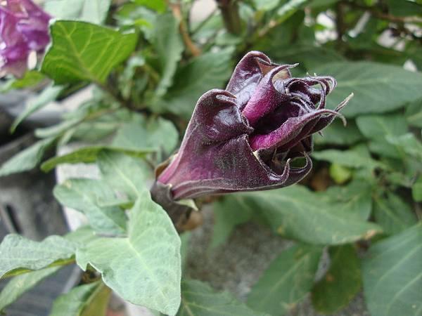 紫花曼陀羅。