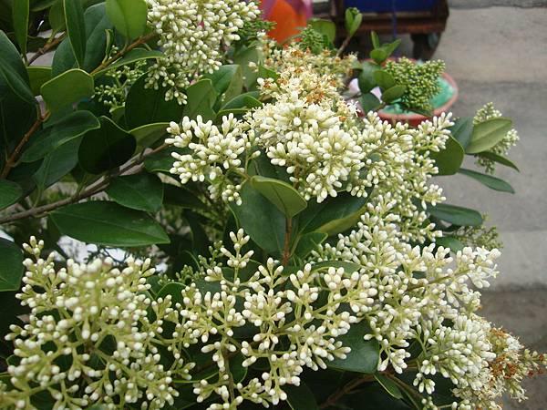 厚葉石斑木的花