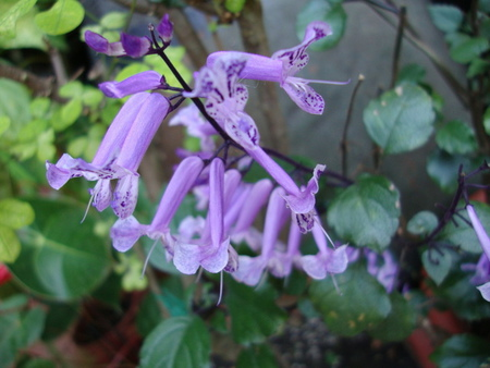 紫鳳凰圖檔