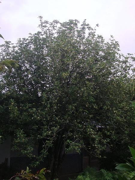 百年桂花樹