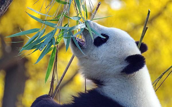 panda-4421395_960_720.jpg