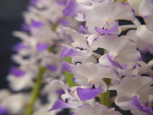 紫狐狸尾蘭.jpg