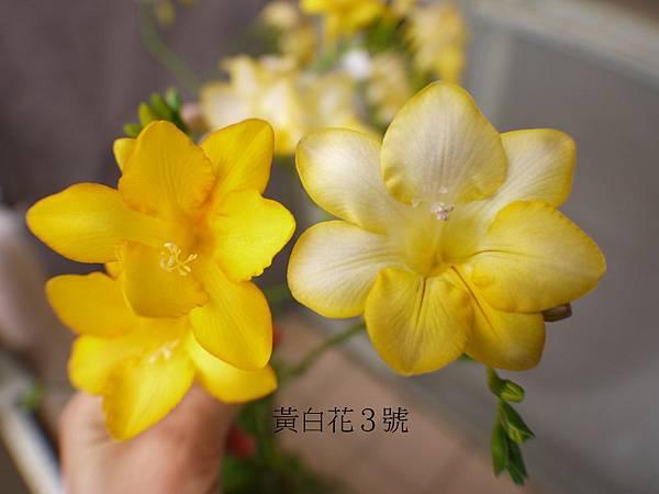 2014年小蒼蘭雜交(25).JPG