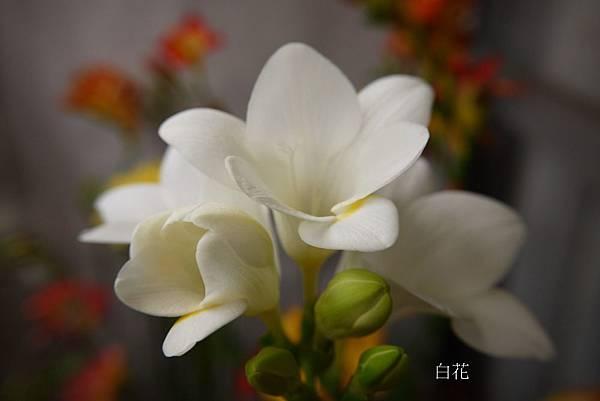 白花.JPG