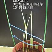 鳶尾屬1(3).JPG