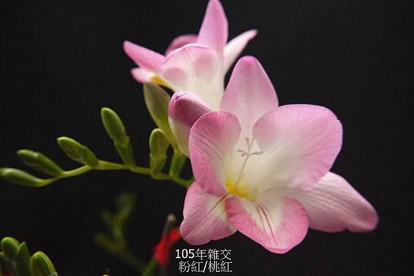 粉紅&桃紅(4).JPG
