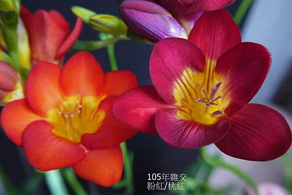 粉紅&桃紅(6).JPG