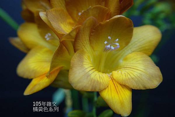 橘黃色系列(6).JPG