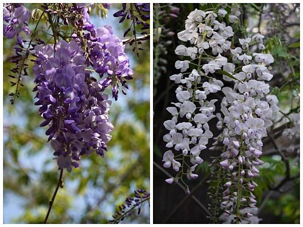 1060410武陵紫藤(10).jpg